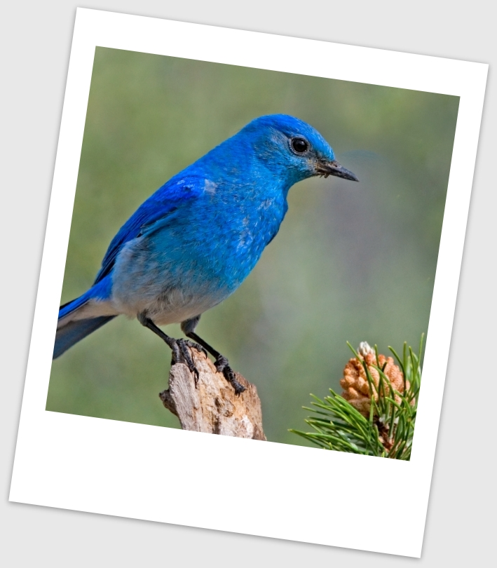 C96e9 mountain bluebird